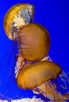 Sea nettle (Chrysaora fuscescens).