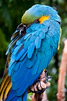 Art, the Bloedel conservatory's blue and yellow macaw.